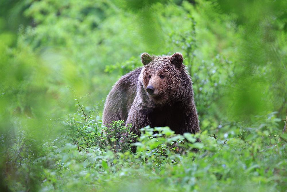 Kocevje - forest bear